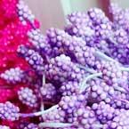 Foam Flower stamen