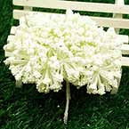 Gypsophila flower stamen, Cream colour, 12 pieces, Long 8.5cm